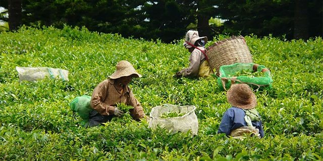 local & famous tea plantation