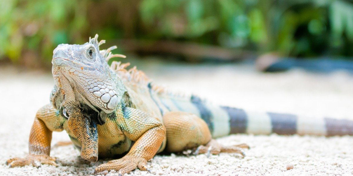 Meet Octar the iguana